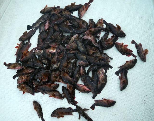 根魚 メバル 釣果写真