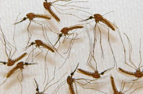 マラリア対策で蚊を遺伝子操作、子孫の95%雄に 英研究