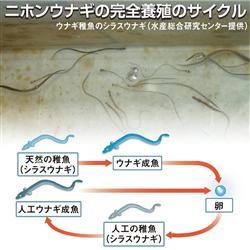 ウナギ完全養殖3年後実用 稚魚量産化へ産学官スクラム