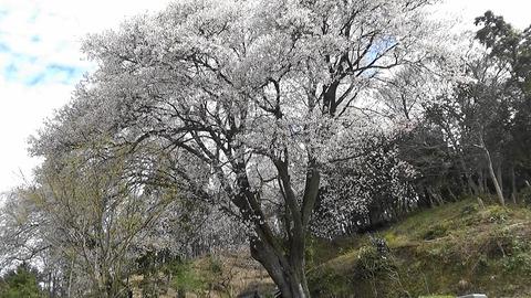 お大師桜ー3