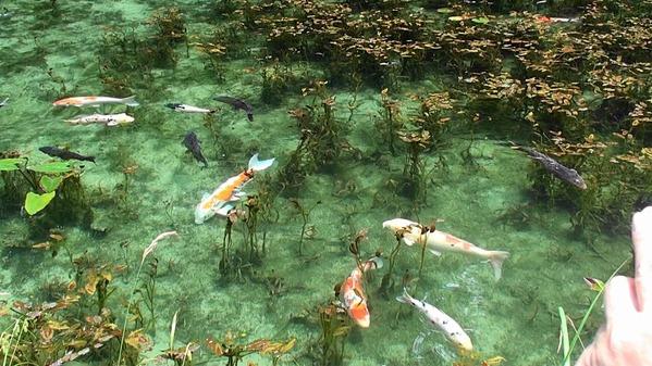 熟年夫婦モネの池4