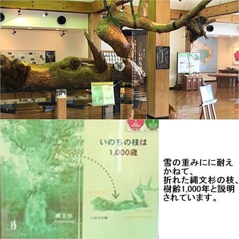 縄文杉30