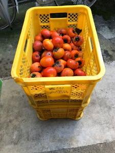既に収穫した柿