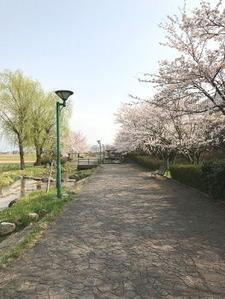 手取川用水沿いの桜