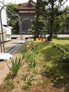 チューリップも細々と咲きました