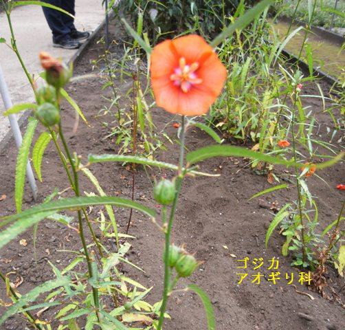 ゴジカの花(アオギリ科) : おはなはんの植物観察日誌
