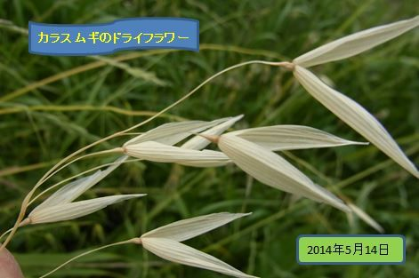 karasumugi2014-1-08burogu