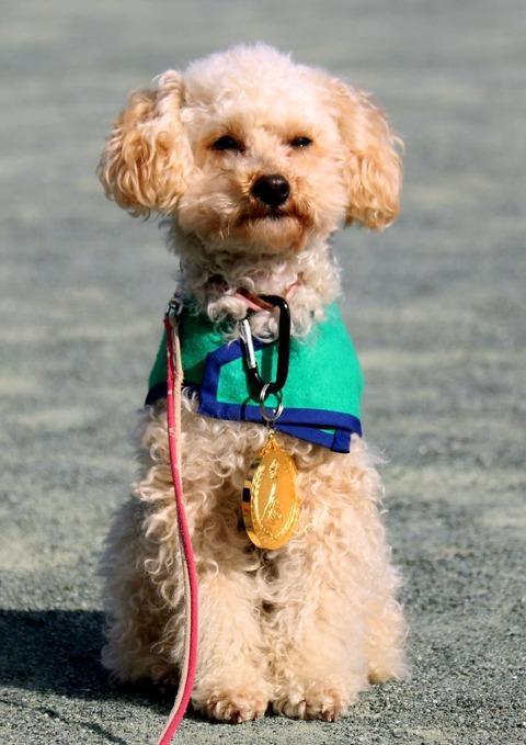 【わんこ】トイプードルが警察犬に 殺処分免れ、審査に合格