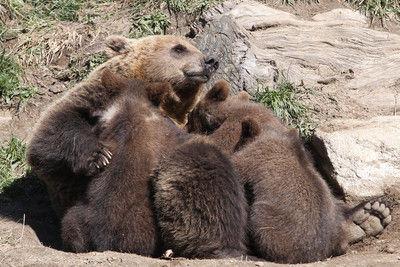 【海外】ピレネー山脈のヒグマ、暖冬で冬眠せず