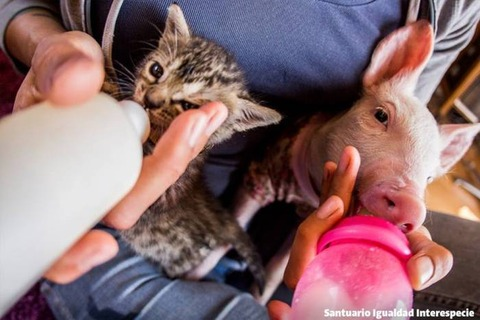 【話題】子ブタのローラと子ネコのマリーナ