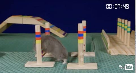 【動物】 ハムスターの障害物競走かわいすぎてどっちも応援