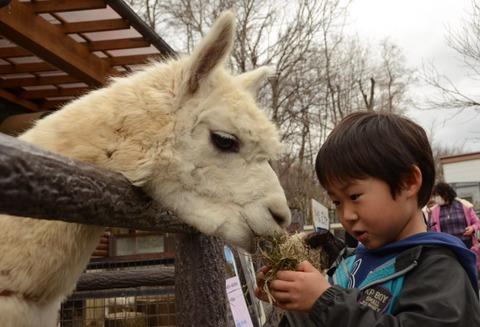 アルパカ 私の白いふわふわ姿見に来て 茶臼山動物園で一般公開