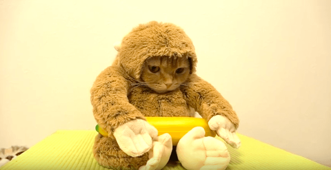 【猫】猿のコスプレした猫が世界規模で大人気