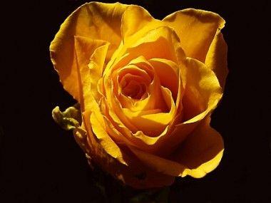 604_roses 001_b