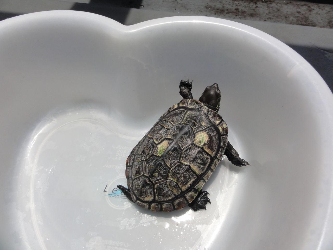清掃中は、ちょびを洗面器に入れてます。