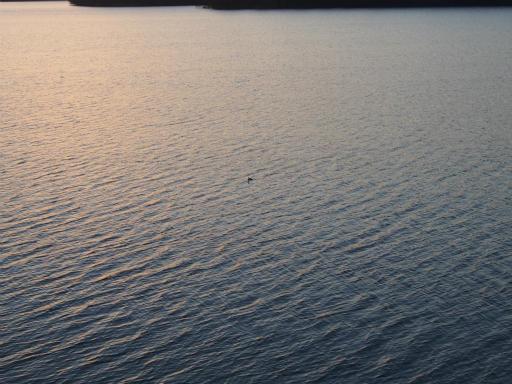 20170204・狭山湖なのだ2-24・水鳥わかるかな