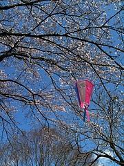 今年も桜祭りは予想を外す