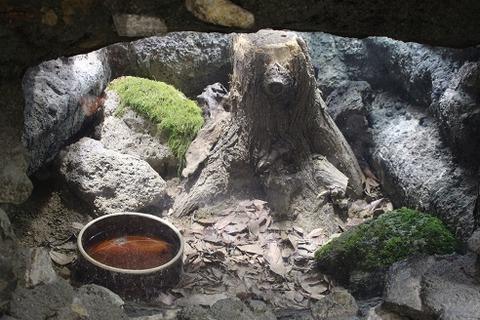 ニホンヒキガエルの画像 p1_11