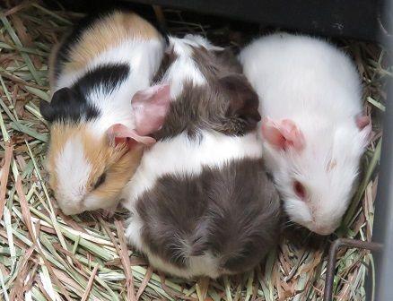テンジクネズミの画像 p1_13