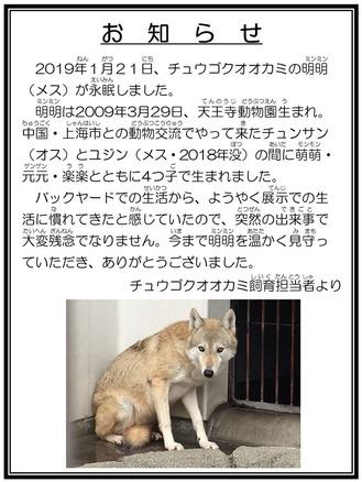 ☆訃報 チュウゴクオオカミ ミンミン 担当者より