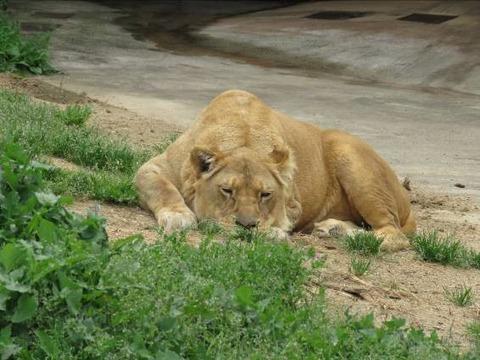 ライオンs