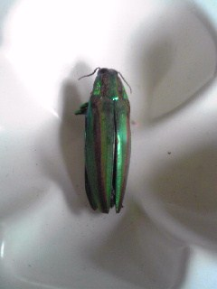 玉虫 2010年夏 伊豆高原