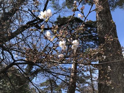 大宮公園の桜の花(一分咲き)