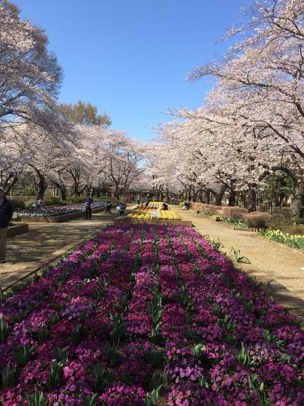 桶川市 城山公園の桜