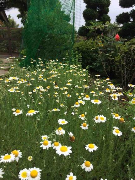 拙宅庭のジャーマン・カモミールの花畑
