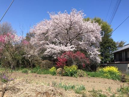 桶川市にある拙宅近隣の桜