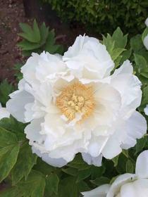 白色の牡丹