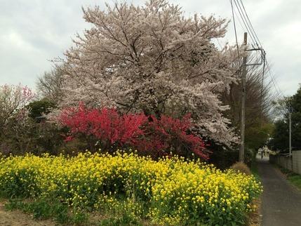 2017.4.10撮影 拙宅近所の桜たちの共演