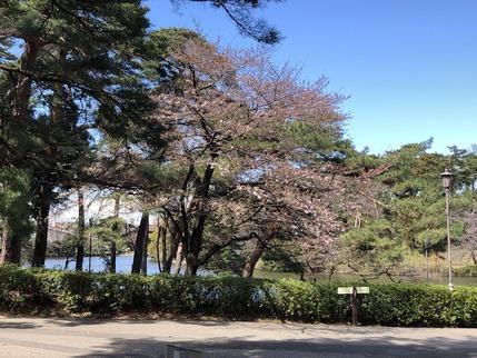 大宮公園の桜の木