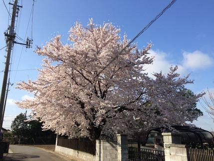 拙宅近くの満開となった桜