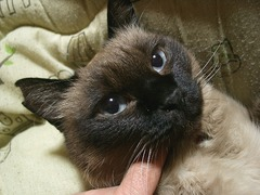 世界一美しい猫、イザウラ