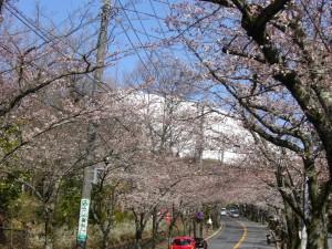6分咲の桜の花と大室山の雪景色-s