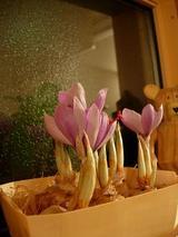 サフラン開花♪