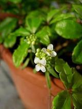 シュガーバインの花