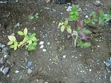 実はかなり小さいブルーベリーの木
