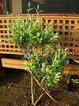 虫を退治したら、すごい勢いの新芽のオリーブ