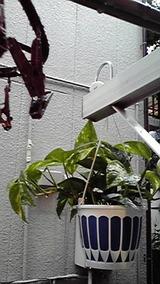 ベランダ観葉植物
