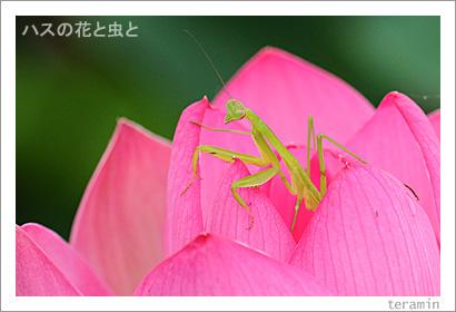 ハスの花と虫と 写真2