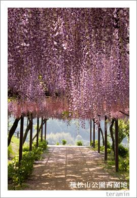 種松山公園西園地の藤棚3