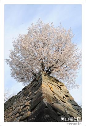 岡山城と桜2