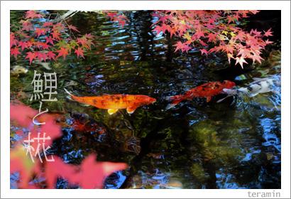 鯉とモミジ(好古園にて) 写真3