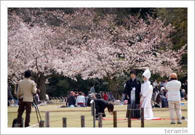 後楽園の春・桜満開4