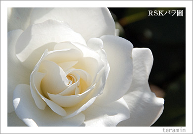 RSKバラ園4