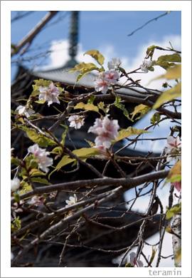 国分寺の桜1