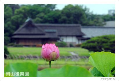 岡山後楽園のハス 写真1