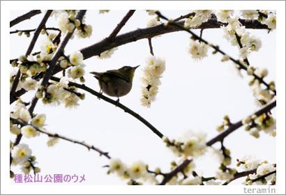 種松山公園のウメ2